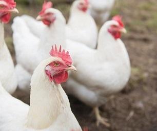 I'm a chicken <em>and</em> a hypocrite